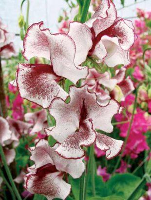 цветы душистого горошка 1