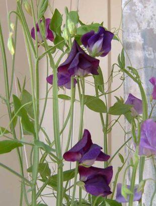 цветы душистого горошка 3