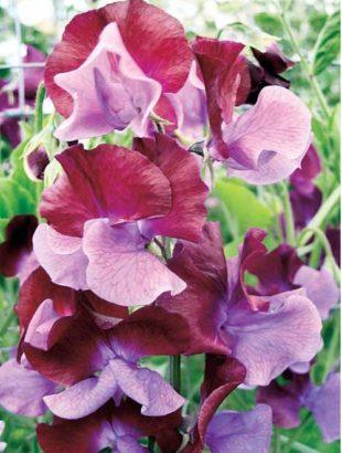 цветы душистого горошка 4