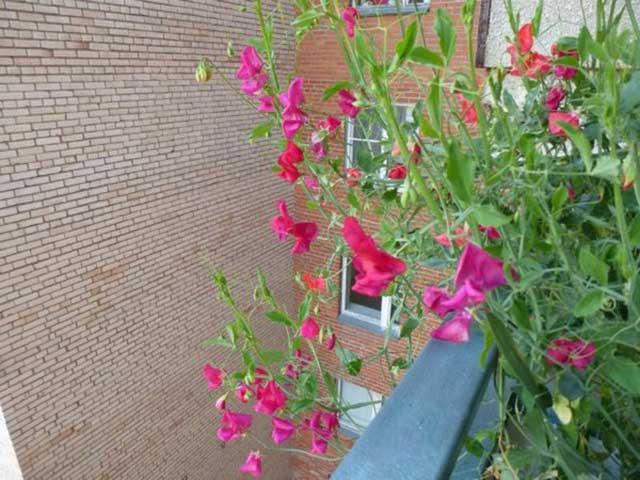 выращивание душистого горошка на балконе