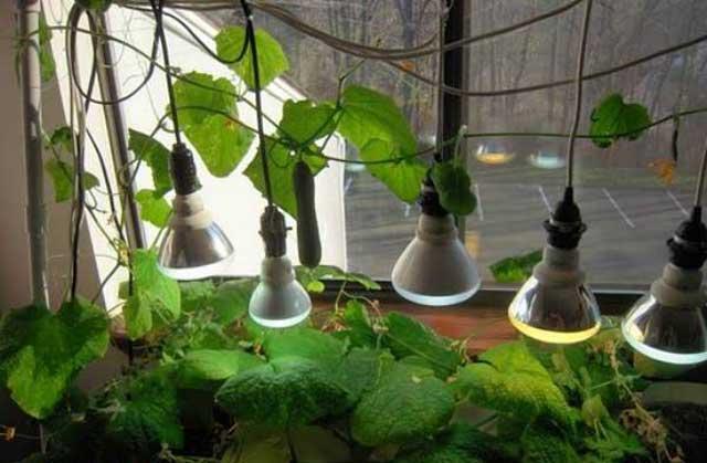 люминесцентные лампы на балконе при выращивании огурцов
