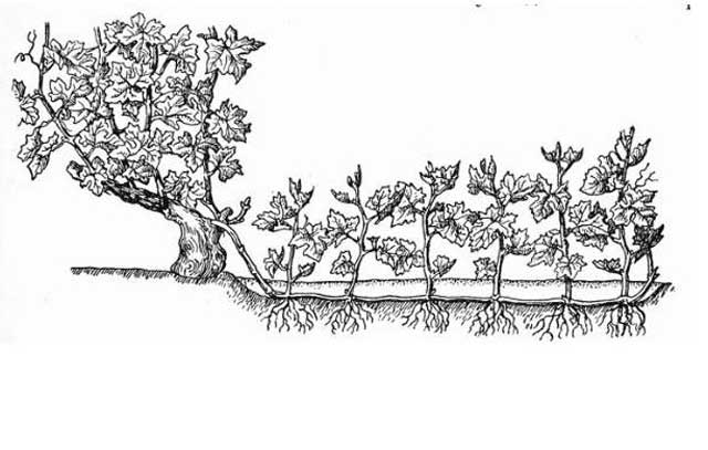 размножение дикого винограда отводками