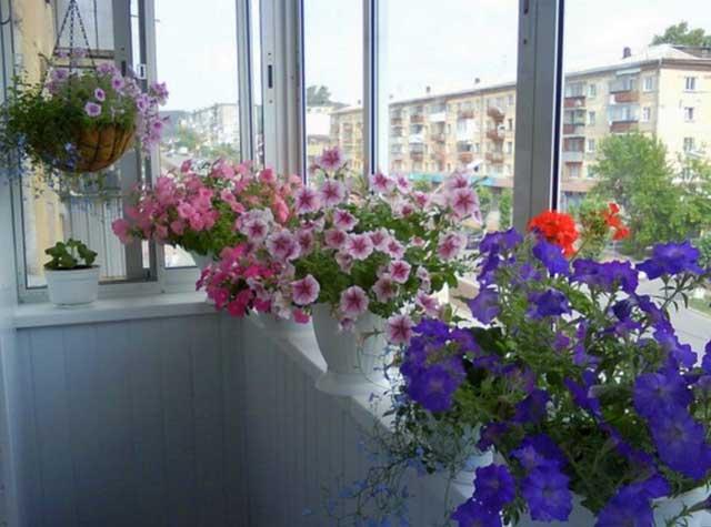 петуния на балконе фото