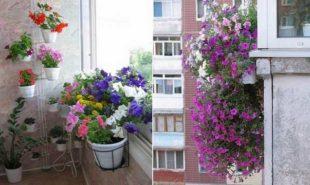 петуния-на-балконе-3