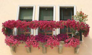 петуния-на-балконе-4