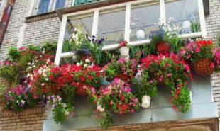петуния-на-балконе-6